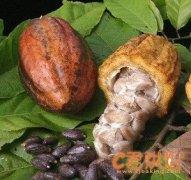 可可豆的主要种类介绍